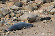 five year old Hawaiian monk seal, Neomonachus schauinslandi or Monachus schauinslandi ( Critically Endangered, endemic species ) female named Waimanu with 12 day old pup (named Keokea ) barks at male attempting to court her at Keokea Park, North Kohala, Hawaii Island ( the Big Island ), Hawaii, U.S.A.