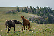 In the Pryor Mountains of Montana lives a herd of about 120 wild horses. Thought to be descendants of Spanish colonial horses, these mustangs were the first to be federally protected after nearly being removed in the late 1960's. This wild horse range is not easy to access. It requires a long 40-mile drive on steep, rough, and rocky dirt roads, where navigation can be tricky. It's not a place to go unprepared. After I couldn't drive any further, I walked the rest of the way since I finally spotted the herd in the distance. I counted a total of 22 horses near the top of Sykes Ridge at 8,000 feet.