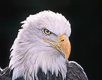 Bald Eagle, Haliaeetus leucocephalus.