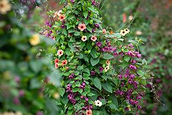 Thunbergia alata 'African Sunset' with Rhodochiton atrosanguineus 'Purple Bells' growing up a birch tripod. Purple bell vine