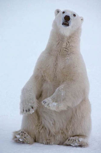 Polar Bear, (Ursus maritimus) Sitting up.Churchill, Manitoba. Canada.