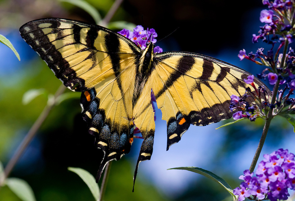 A yellow swallow tailed butterfly near the Lily Pond.