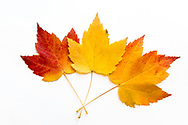 Sugar maple (Acer saccharum) leaves showing fall foliage colours on a white background.