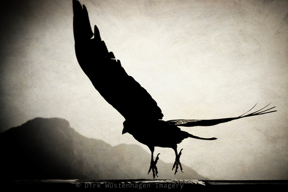 Raven about to fly away - la Palma. Canary Islands