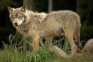 Deu, Deutschland: Wolf (Canis lupus), Porträt, steht mit Breitseite zur Kamera, Lebensraum: Alpen, Schwarzwaldpark Löffingen, Baden-Württemberg   DEU, Germany: Wolf (Canis lupus), portrait, side view of the wolf, hapitat: European Alps, Black Forest Park, Loeffingen, Baden-Wuerttemberg   ..