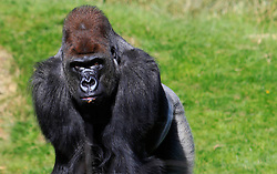 © Licensed to London News Pictures 02/05/2013.Kumbuka is the new male arrival to ZSL London Zoo, from Paignton Zoo in Devon. He is a 15 year old western lowland gorilla who weighs a hefty 29 stone (185 kgs)..London, UK.Photo: Anna Branthwaite/LNP