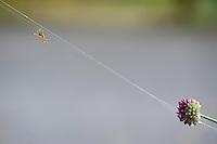 Black and yellow garden spider (Argiope bruennichi) and  onion flower at  Lake Skadar National Park, Montenegro