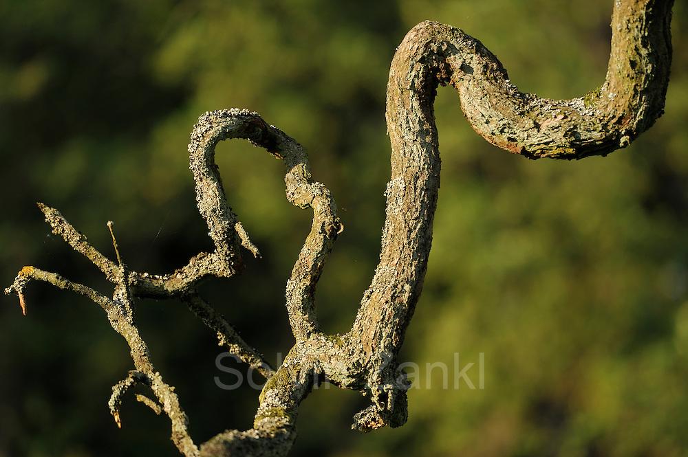 Branch of an Sessile oak (Quercus petraea) in the Biosphere Reserve 'Niedersächsische Elbtalaue', Elbe valley, Germany |