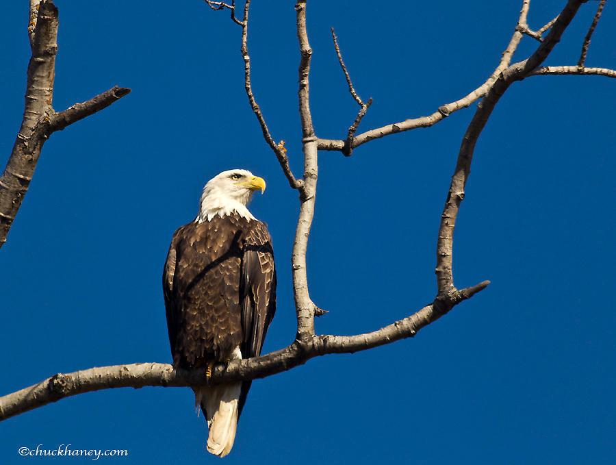 Mature bald eagle near Lutsen, Minnesota, USA