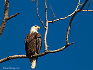 Mature bald eagle near Lutsen, Minnesota, USA