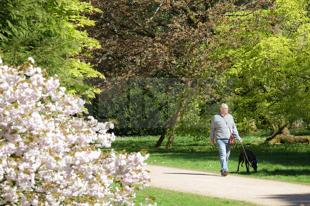 © Licensed to London News Pictures. 22/04/2015. Bristol, Avon, UK. A man walking his dog through Westonbirt, The National Arboretum today, 22nd April 2015. The south west of England is set for more warm temperatures and plenty of sunshine today. Photo credit : Rob Arnold/LNP