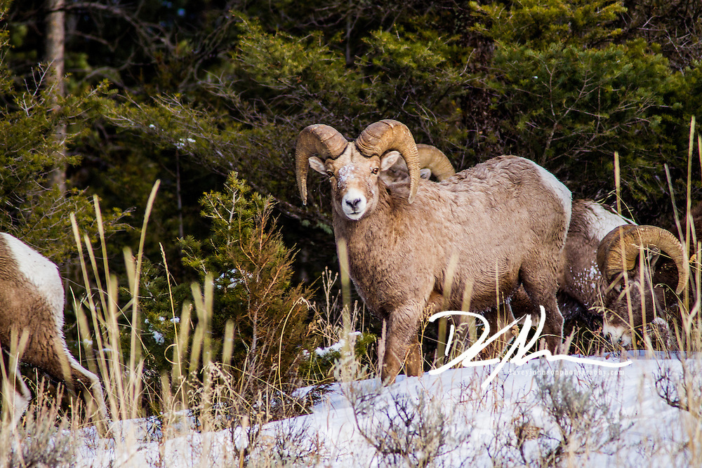 A herd of Big Horn Sheep moving through the wilderness