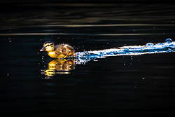 © Licensed to London News Pictures. 10/04/2020. London, UK. A new duckling runs across the water before swimming on a canal in Wapping, east London during sunny weather this Good Friday morning. Warm and sunny weather is forecast for the whole of the Easter weekend as the country remains in lockdown due to the ongoing Covid-19 Coronavirus outbreak. Photo credit: Vickie Flores/LNP