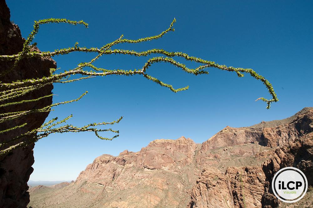 Ocotillo cactus (Fouquieria splendens).