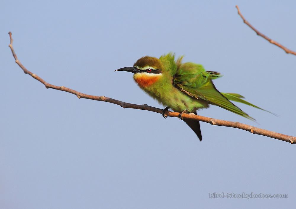 Olive Bee-eater, Merops superciliosus, Ibo Island, Mozambique, by David Hoddinott