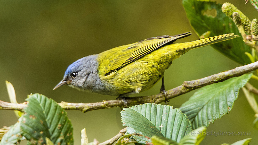 Capped Conebill, Conirostrum albifrons, Ecuador, by Owen Deutsch