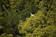 A great egret (Ardea alba) perches in red mangrove on a key island. Photographed from the air in Biscayne National Park.