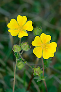 ALPINE CINQUEFOIL Potentilla crantzii (Rosaceae) Height to 25cm. Hairy perennial of upland, rocky ground and mountain ledges. FLOWERS are 15-25mm across, the 5 yellow petals often with an orange basal spot (Jun-Jul). FRUITS are dry and papery. LEAVES are pinnately divided into 5 finger-like, toothed lobes. STATUS-Scarce and local in N Wales, N England the Scottish Highlands.