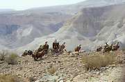 Griffon Vulture (Gyps fulvus) a group in the desert, Negev, Israel