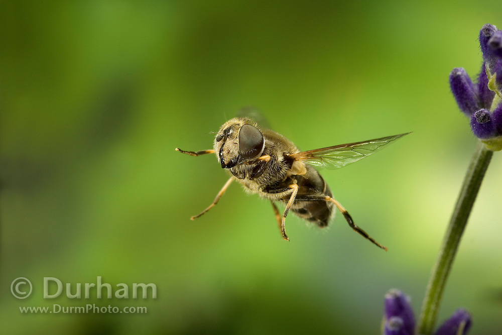 A hover fly (family Syrphidae) in flight. Western Oregon.
