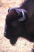 Buffalo head, live buffalo at the Oakland zoo. 1999
