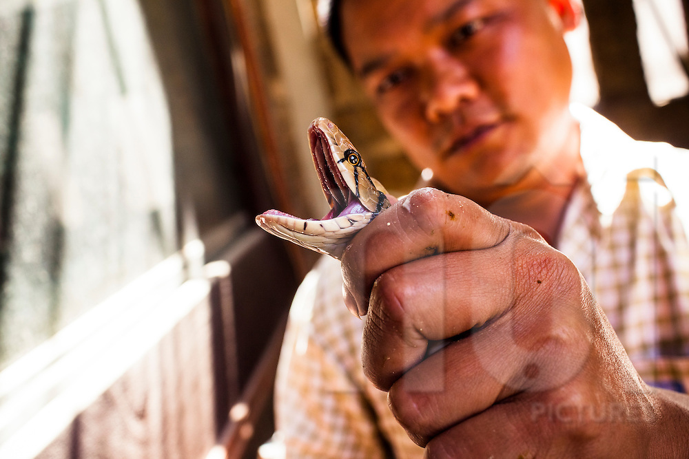 A restaurant owner shows a lively snake at Le Mat snake village in Hanoi, Vietnam, Southeast Asia