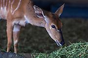 Nyala Game Capture and Capture Bomas, Phinda Private Game Reserve, Zululand, KwaZulu Natal, South Africa