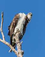 Osprey's head seems out of position during preening, giving away a highly flexible neck, © 2015 David A. Ponton