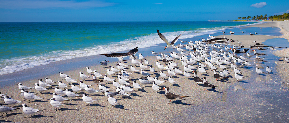 Royal Terns, Thalasseus maximus, flocking on beach at Captiva Island, Florida, USA