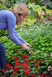 Taking cuttings from pelargoniums
