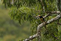 Many-banded Aracari (Pteroglossus pluricinctus) in a Ceiba pentandra tree<br /><br />Tiputini Biodiversity Station, Amazon Rain Forest, Ecuador.