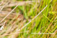 06666-00513 Autumn Meadowhawk (Sympetrum vicinum) male in wetland Marion Co. IL
