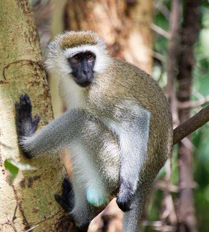 Blue-balled vervet monkey