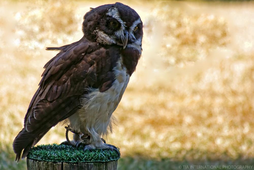Owl / Woodland Park Zoo, Seattle