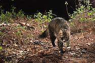 Feral House Cat (Felis catus) captured with infra-red triggered camera<br /> TEXAS: Bastrop Co.<br /> Stengl &quot;Lost Pines&quot; Biological Station; Smithville<br /> 19.April.2009<br /> J.C. Abbott
