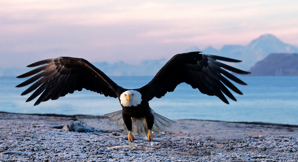 Alaska. Bald Eagle (Haliaeetus leucocephalus) taking off from a rocky beach with Mt. Iliamna volcano in the background at sunset, Kachemak Bay.
