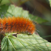Orange, rust colored caterpillar on green leaves.