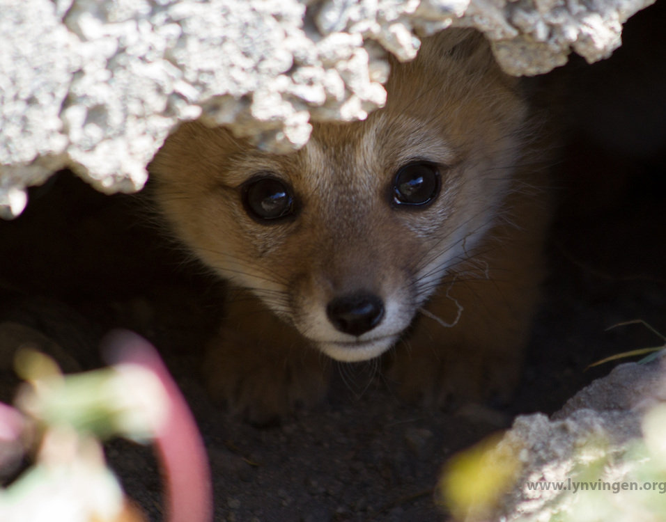 Fox cub peering out of the den, Patagonia, Chile