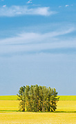 Canola crop and shelterbelt trees<br /> Mossleigh<br /> Alberta<br /> Canada