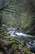 Big Leaf Maple trees along Tanner Creek, Columbia River Gorge National Scenic Area Oregon