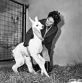 1962-07/03 Ilama at Dublin Zoo