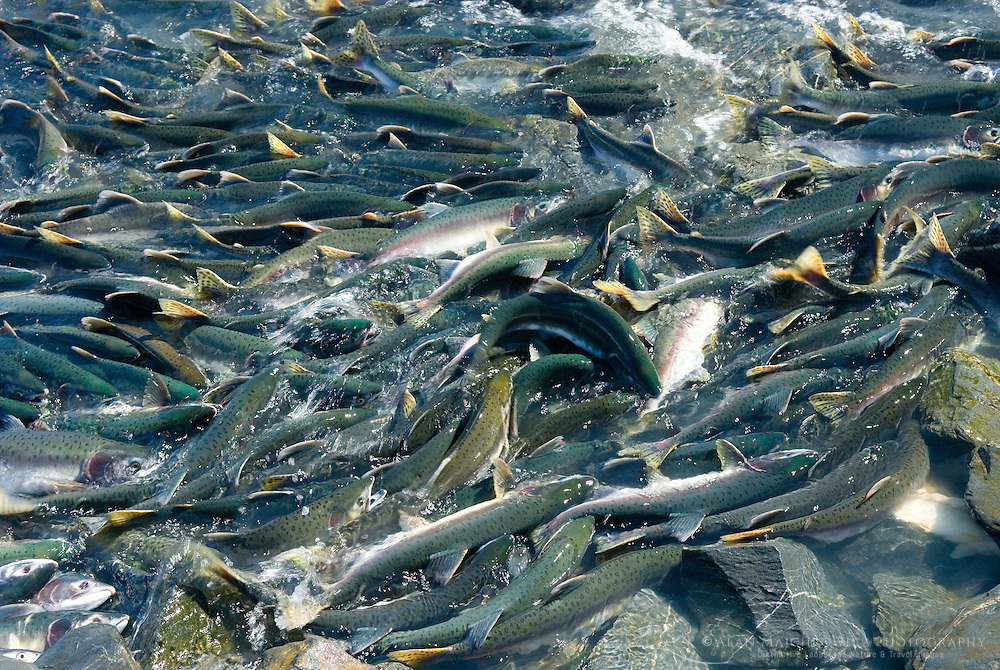 Spawning salmon attempting to move upstream near Solomon Gulch fish hatchery Prince William Sound Alaska.