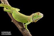 Iguane vert, Iguana iguana