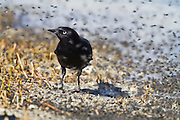 Brewer's Blackbird feeding on swarms of tiny black alkali flies at Mono Lake, Sierra Nevada, North America