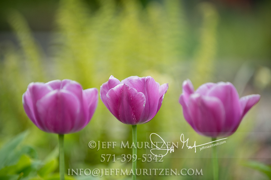 Three tulips in bloom in Cornwall England.