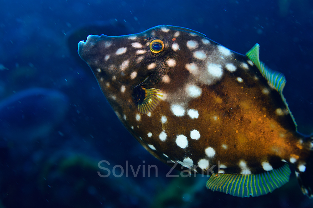 whitespotted filefish (Cantherhines macrocerus) Central equatorial Atlantic Ocean, Saint Peter and Saint Paul Archipelago, Brazil #STP17 [first published through bioGraphic, a program of the California Academy of Sciences] | Weißflecken-Feilenfisch (Cantherhines macrocerus)