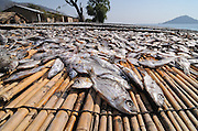 A group of mid-water dwelling cichlid species, known as utaka, on drying racks at Cape Maclear. In some areas of the lake utaka are locally extinct due to over-fishing, Lake Malawi, Malawi.