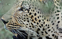 Leopard (Panthera pardus) close-up profile