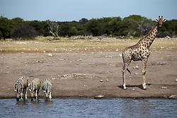 NAMIBIA ETOSHA 30APR14 - Angolan giraffe watches while zebras drink at a waterhole near Namutoni, Etosha National Park, Namibia.<br /> <br /> <br /> <br /> jre/Photo by Jiri Rezac<br /> <br /> <br /> <br /> © Jiri Rezac 2014