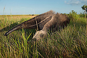 Giant Anteater (Myrmecophaga tridactyla)<br /> Savannah<br /> Rupununi<br /> GUYANA. South America<br /> RANGE: Central and South America